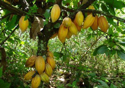 reich tragender Baum_Virunga